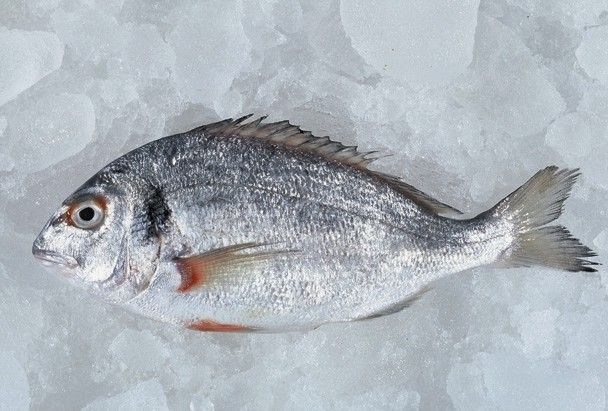 Cipura balığı