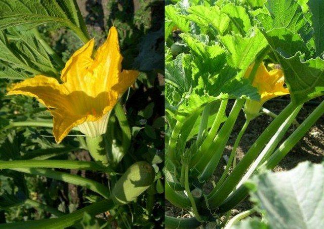 Kabak çiçeği